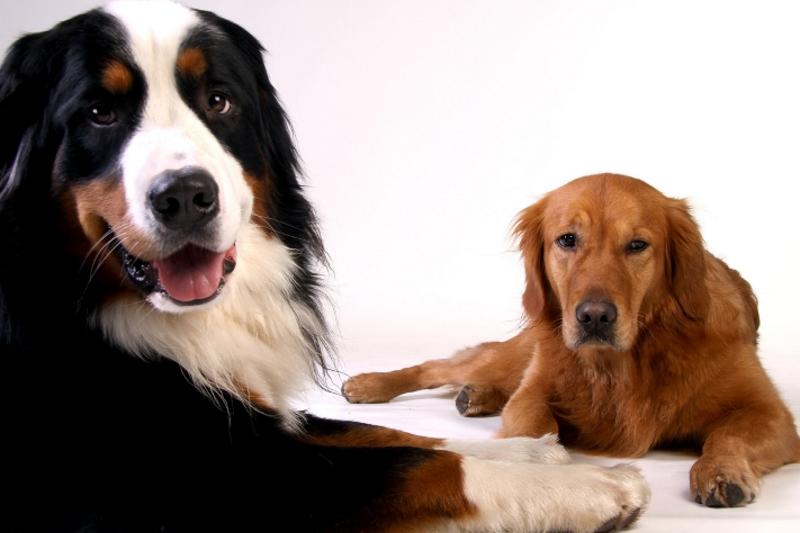 rustige-hondenrassen-goldenretriever