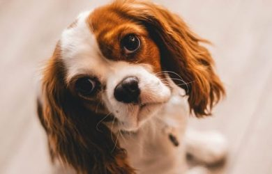 rustige-hondenrassen