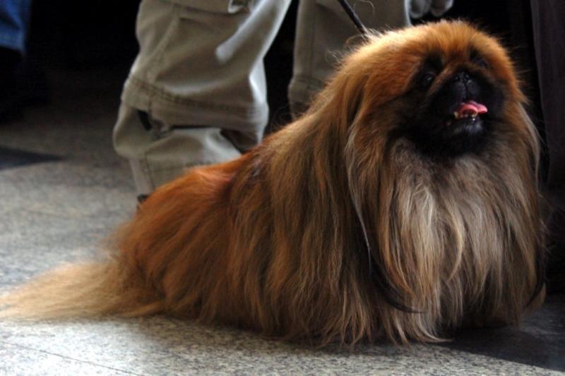 honden-informatierustig-hondenras-pekingees-1024x676