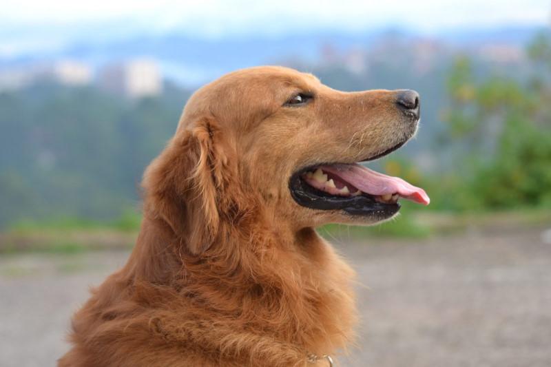 rustige hond die weinig blaf
